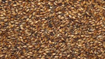 Солод Шато Вит Шоколад (Пшеничный) (Castle Malting), 1 кг